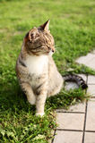 Le chat de beauté Photographie stock libre de droits