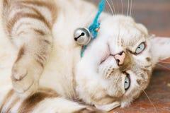 Le chat de Brown se repose dans la posture bizarre Photographie stock libre de droits