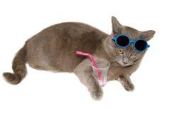 Le chat de Chartreux boit l'eau Images libres de droits