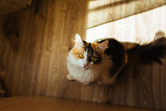 Le chat de couleur du gingembre trois est prêt à sauter sur la table Image de tonalité chaude Concept d'animal familier de mode d Photos libres de droits