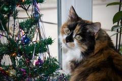 le chat de couleur trois se trouve près de l'arbre du ` s de nouvelle année Images stock