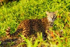Le chat de Geoffroy (geoffroyi de Felis) Photo stock