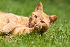 Le chat de gingembre photographie stock