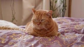 Le chat de Ginger British se repose sur le lit lazyly et les clins d'oeil banque de vidéos