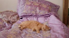 Le chat de Ginger British se trouve sur le lit avec la couverture violette essayant de dormir clips vidéos