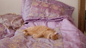 Le chat de Ginger British se trouve sur le lit avec la couverture violette essayant de dormir banque de vidéos