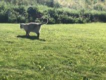 Le chat de Grey Siamese chasse sur une pelouse verte un jour ensoleillé d'été photo stock