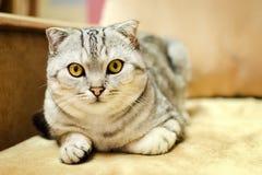Le chat de la race de l'écossais plient des regards directement Photos stock
