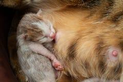 Le chat de m?re soigne le chaton photographie stock libre de droits
