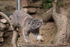 Le chat de Pallas Image libre de droits