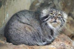 Le chat de Pallas (manul d'Otocolobus), également connu sous le nom de manul Images libres de droits