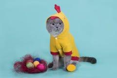 Le chat de pli d'écossais dans un costume de poulet célèbre Pâques Image libre de droits