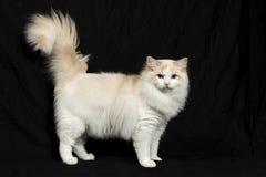Le chat de ragdoll images stock
