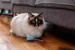 Le chat de Ragdoll jouant avec un bleu a tricoté le jouet de souris Photo libre de droits
