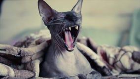 Le chat de sphinx baîlle dans le mouvement lent clips vidéos