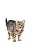 Le chat de tigre semble amical Images libres de droits