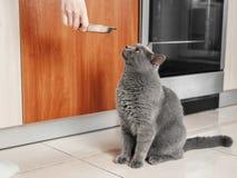 le chat demande à manger, chat affamé images stock