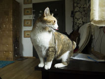 Le chat des sorcières Three-color photo stock