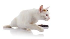 Le chat domestique blanc avec une queue multicolore recherche Photos libres de droits
