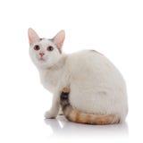 Le chat domestique blanc avec une queue rayée multicolore Photos stock