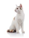 Le chat domestique blanc avec une queue rayée multicolore Image libre de droits
