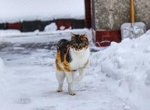 Le chat domestique curieux fait de petits sauts sur le trottoir Horaire d'hiver Le chaton apprécie la neige blanche Le catus de F photographie stock libre de droits