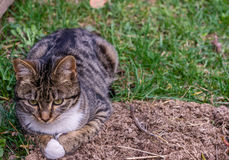 Le chat domestique se trouve sur l'herbe photos libres de droits