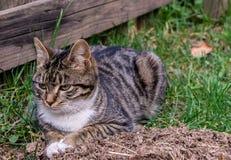 Le chat domestique se trouve sur l'herbe Photos stock