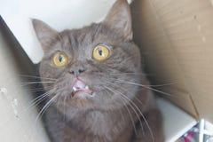 Le chat droit de Scotty de chocolat de Brown s'est élevé dans une boîte en carton étroite et des coups d'oeil hors de elle Photographie stock