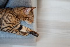 Le chat du Bengale se trouve sur le sofa photo stock
