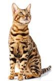 Le chat du Bengale sur le fond blanc tranquillement se repose et recherche avec l'intérêt photographie stock