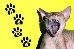Le chat du sphinx canadien a ouvert sa bouche au loin Miaulement d'inscription sur un fond vert images libres de droits