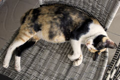 Le chat enceinte dort sur la chaise Photos libres de droits