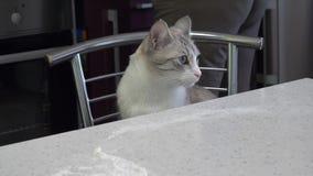 Le chat est gris-clair avec des yeux bleus se reposant dans la cuisine à la table banque de vidéos