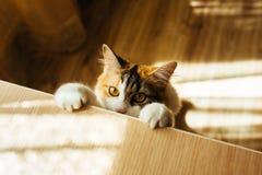 Le chat est prêt pour sauter Image de tonalité chaude Concept d'animal familier de mode de vie Photo stock