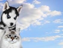 Le chat et le chien, mascarade de neva, le chien de traîneau sibérien regarde la droite sur le fond bleu Photographie stock libre de droits