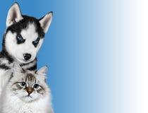 Le chat et le chien, mascarade de neva, le chien de traîneau sibérien regarde la droite sur le fond bleu Photos stock