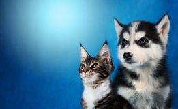 Le chat et le chien, ragondin du Maine, le chien de traîneau sibérien regarde la gauche Images libres de droits