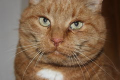 Le chat a eu des larmes découlant des yeux parce que les yeux sont malades C Images stock