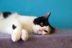 Le chat fatigué mignon se repose sur la couverture pourpre Photo libre de droits
