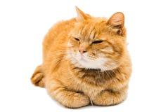Le chat fier de gingembre se trouve Photographie stock libre de droits
