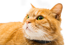 Le chat fier de gingembre se trouve Images libres de droits