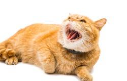 Le chat fier de gingembre se trouve Photos libres de droits