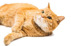 Le chat fier de gingembre se trouve Photo libre de droits