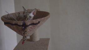 Le chat fier du sphinx se situe dans son lit et apprécie détendent banque de vidéos