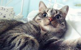 Le chat gris avec la lumière dépouille le plan rapproché Photographie stock