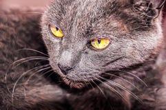 Le chat gris avec les yeux jaunes Image libre de droits