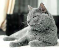 Le chat gris détendent dedans pour l'humeur gentille image libre de droits