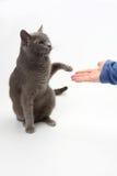 Le chat gris donne une patte dans la paume de la personne images libres de droits