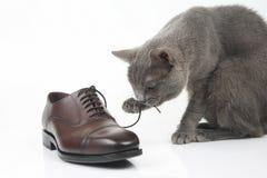 Le chat gris joue avec une chaussure de brun du ` s d'hommes de dentelle de classique sur le CCB blanc photographie stock